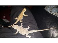 2 10 month old bearded dragons (will sell seperate)