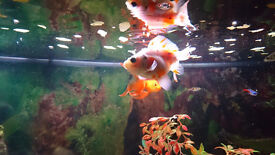 Goldfish and tetras