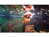 Goldfish and tetras
