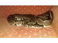Male royal python