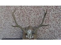 red deer stag antlers horns with skull natural mortality