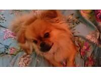 Gorgeous pomeranian x Pekingese dog