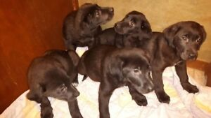 Chocolate Lab X Maremma Puppies!