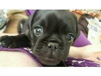 One gorgeous pug puppy!