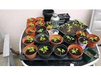 Tomato plants( gardeners delight