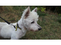 Independent West Highland White Terrier Crossbreed