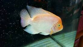 Red texas hybrid 6inch stunning colouration