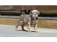 Lilac Tri Merle Olde English Bulldog