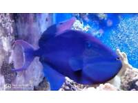 Blue Marine Trigger Fish