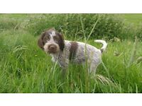 German wirehaired pointer pups for sale