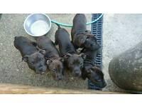 Staffy pups kc reg