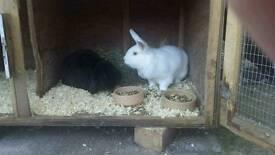 2 x female rabbits with hutch
