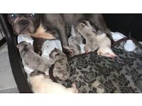💥READY TO GO NOW💥 LILAC MERLE PUPPIES AVAILABLE