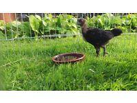 5 Ayam Cemani chicks