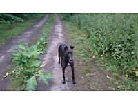 Loving Lurcher x Fully Vaccinated/ Wormed etc
