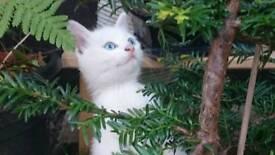 3 White and 1 black&white kitten