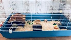 Guinea pig with cage and accessories