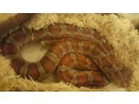 Miami corn snake (rare)