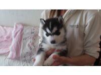 Beautiful siberian husky puppy for sale