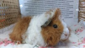 Pair of long haired female guinea pigs