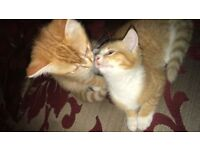 Two Ginger Maine Coon Kittens for Sale