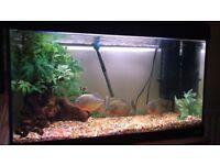 Fish tank with piranhas