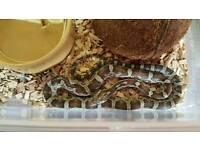 Cb16 anery corn snake