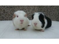 2 guinea pigs and cage for sale