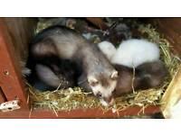 1/2 EU polecat ferrets