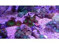 Marine aquarium frag palys zoa