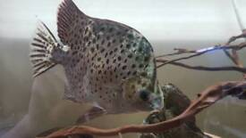 Scat fish