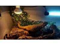 Bearded Dragons, 4ft viv and set up