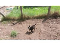 4 border collie puppies for sale