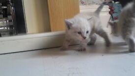 Beautifull lyxn point siamese kittens