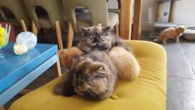 Persian cross british Shorthair kittens