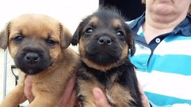 border terrier cross jack russell puppies for sale