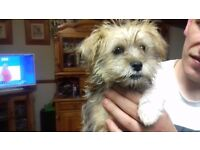 ONE LITTLE SCHNAU-TZU PUPPIES (ONEGIRL) must go asap