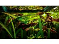 Tropical fish. Guppies and Endler hybrids