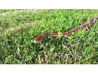 Female Red Corn Snake and Vivarium