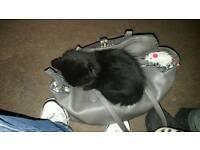 Kitten for sale £50