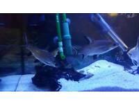 3Silver shark fish