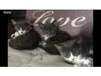 Ragdoll Cross kittens , blue and white , Ready now