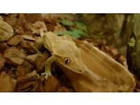 Crested gecko and full setup