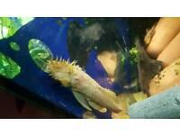 Adult pair albino bristlenose tropical fish