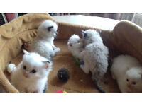 Last 2 Ragdoll Kittens to reserve