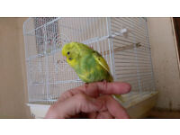 HAND REARED BUDGIE AND CAGE