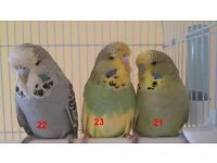 Baby budgies are looking for new home