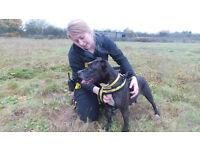Affectionate Staffordshire Bull Terrier