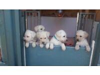 5 Beautiful Labrador puppies