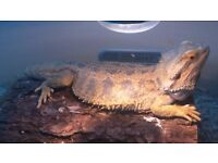 citrus bearded dragon male and 4 ft viv need of home asap